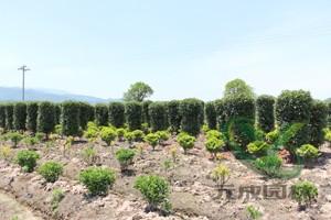 高低相映的苗木